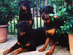 Rottweiler Champion Dogs