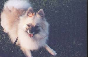 Pomeranian feels better, and is a pretty girl, too