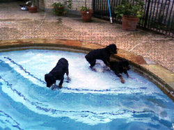 lew and dogs swimming